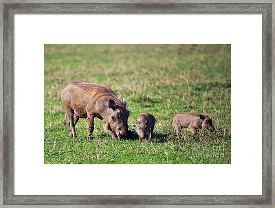 The Warthog Family On Savannah In The Ngorongoro Crater. Tanzania Framed Print by Michal Bednarek
