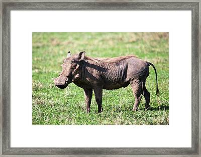 The Warthog On Savannah In The Ngorongoro Crater. Tanzania Framed Print by Michal Bednarek