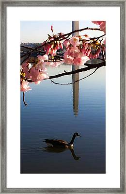 The Washington Monument Through The Cherry Blossoms Framed Print