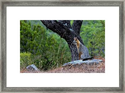 The Watchful Fox Framed Print