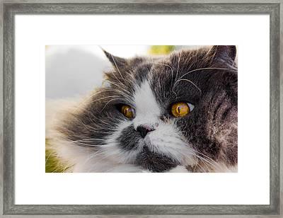 The Watching Cat Framed Print by Daniel Precht