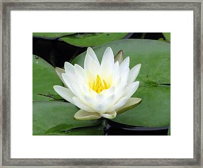 Framed Print featuring the photograph The Water Lilies Collection - 04 by Pamela Critchlow