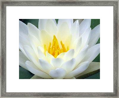 Framed Print featuring the photograph The Water Lilies Collection - 05 by Pamela Critchlow