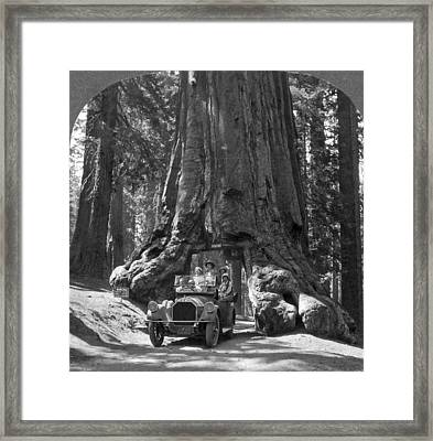 The Wawona Giant Sequoia Tree Framed Print by Underwood Archives