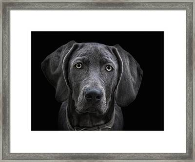 The Weimaraner Framed Print by Joachim G Pinkawa