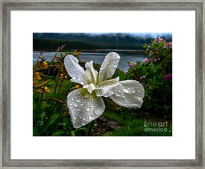 The White Iris Framed Print by Robert Bales