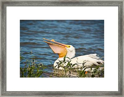 The White Pelican Framed Print