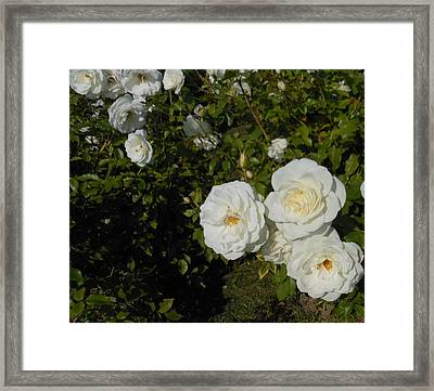The White Rose Is A Dove Framed Print by Kay Gilley