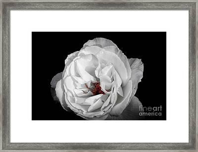 The White Rose Framed Print
