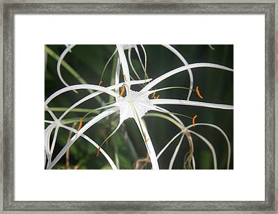 The White Spyder Framed Print