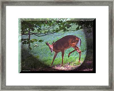 The Whitetail Buck Visits Framed Print