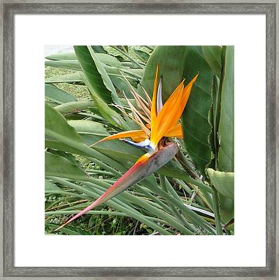 The Wilting Bird Of Paradise Framed Print