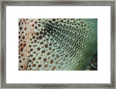 The 'wing' Of A Gurnard Fish Framed Print