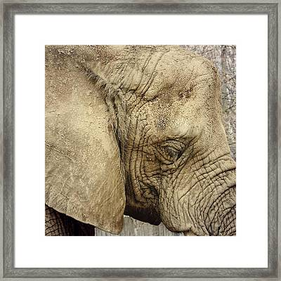 The Wise Old Elephant Framed Print by Nikki McInnes
