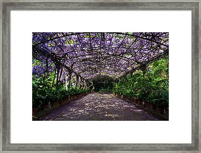 The Wisteria Arbour In Full Bloom Framed Print by Panoramic Images