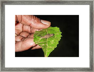 The World's Smallest Chameleon Framed Print by Photostock-israel