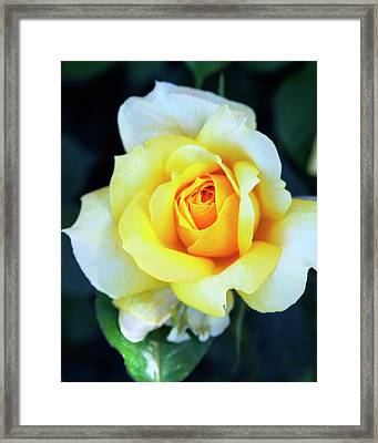 The Yellow Rose Palm Springs Framed Print
