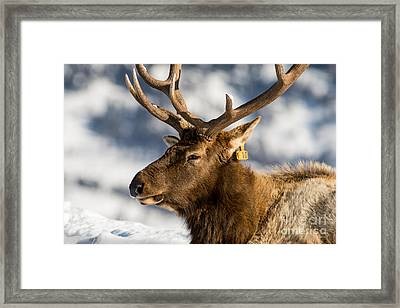 The Yellowstone Elk # 10 Framed Print