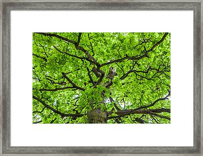 The Young Oak Framed Print by Semmick Photo