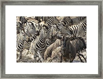The Zebra Rush Framed Print by Paul W Sharpe Aka Wizard of Wonders