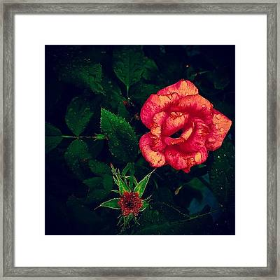 Rose Water Framed Print