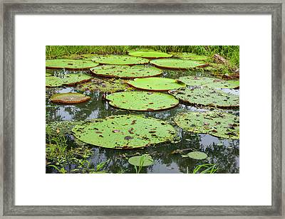 These Giant Water Lilies, Up To 8 Feet Framed Print by Mallorie Ostrowitz