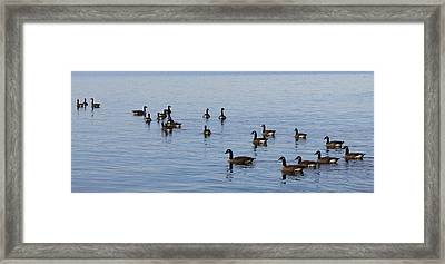 They Are Swimming Framed Print by Carolyn Ricks