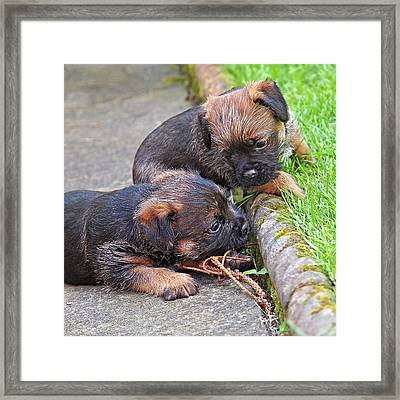 They Can Still See You - Border Terrier Puppies Framed Print by Gill Billington