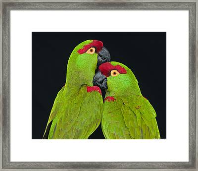 Thick-billed Parrot Pair Framed Print