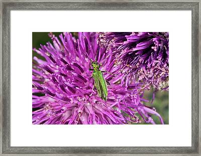 Thick-legged Flower Beetle On Knapweed Framed Print by Bob Gibbons