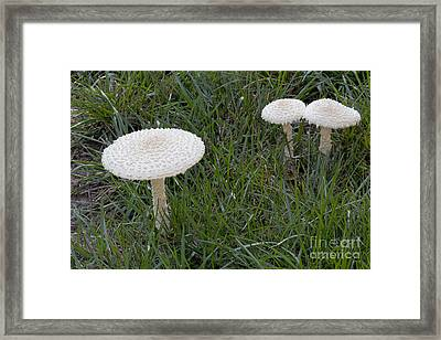 Thiers Lepidella Mushrooms Framed Print by Kenneth M. Highfill