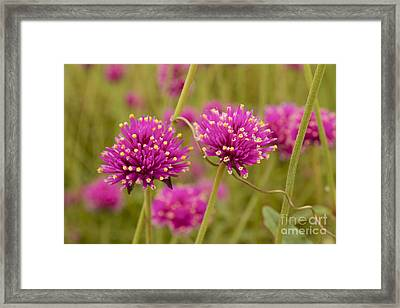 Tangled Up In Pink Framed Print