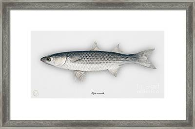Thinlip Mullet Liza Ramada - Mulet - Morragute - Cefalo - Tainha Tunnlaeppad Multe - Roendungur Framed Print by Urft Valley Art