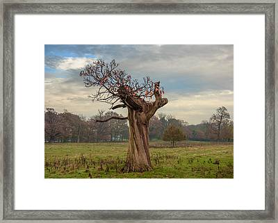 Thinning On Top In The Autumn Years Framed Print by Chris Fletcher