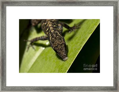 Framed Print featuring the photograph Thirsty Brown Anole by Meg Rousher