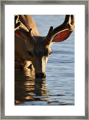 Thirsty Deer In Lake Mcdonald Framed Print by Bruce Gourley