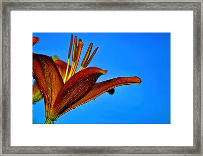 Thirsty Lily In Hdr Art  Framed Print