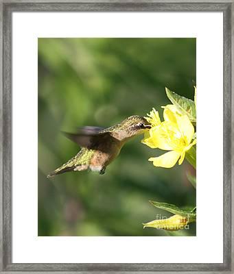 Thirsty Little Hummingbird Framed Print