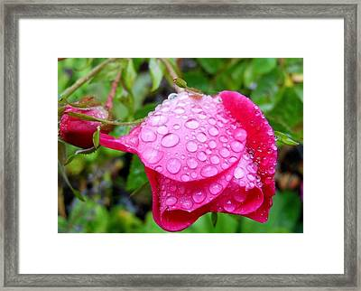 Thirsty Rose Framed Print by Karen Horn