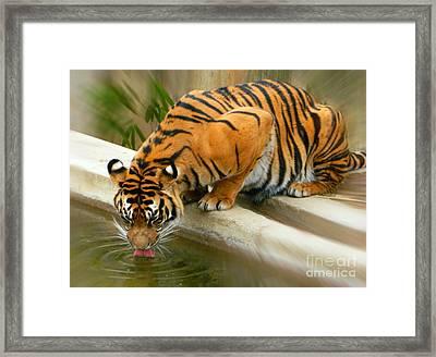 Thirsty Sumatran Tiger Framed Print