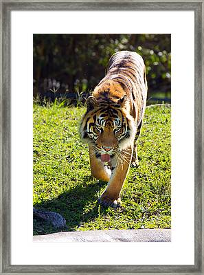 Thirsty Tiger Framed Print