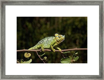 This Flap-neck Chameleon Was Discovered Framed Print