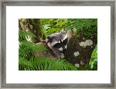 This Is A Nice Spot To Sleep Framed Print by Kym Backland
