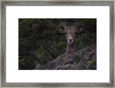 This Is Alberta No.28 - Mountain Sheep Taking Cover Framed Print by Paul W Sharpe Aka Wizard of Wonders