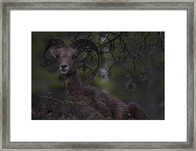 This Is Alberta No.29 - Mountain Sheep Taking Cover 2 Framed Print by Paul W Sharpe Aka Wizard of Wonders