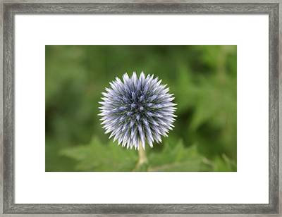 Thisle Framed Print by Donald  Ouellette