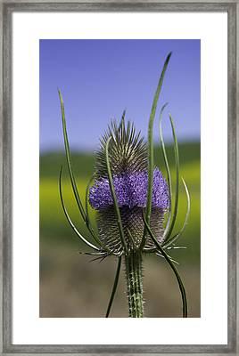 Thistle Framed Print