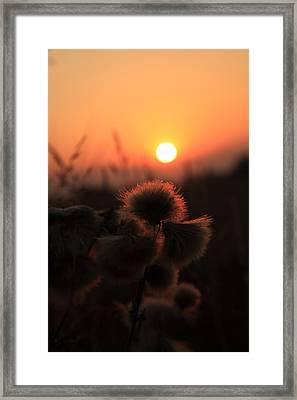Thistles At Sunset Framed Print by Paul Lilley