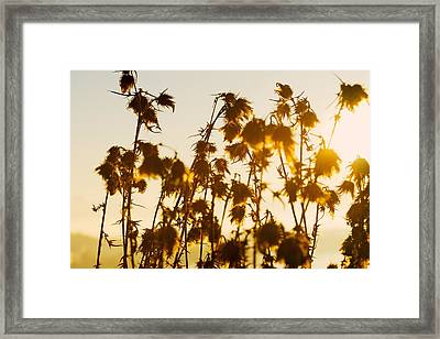 Framed Print featuring the photograph Thistles In The Sunset by Chevy Fleet