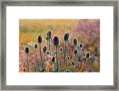 Thistles With Sunset Light Framed Print